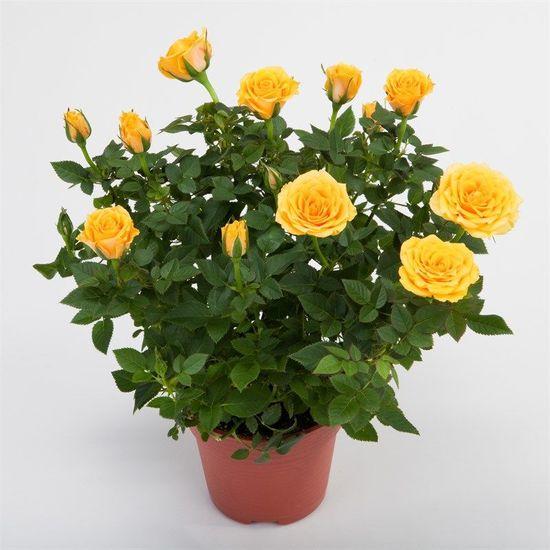 Рекомендации, как лучше пересадить розу в горшок