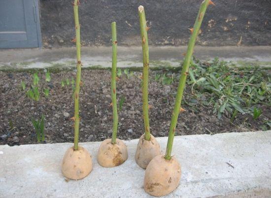 Инструкция как посадить розу из букета в горшок