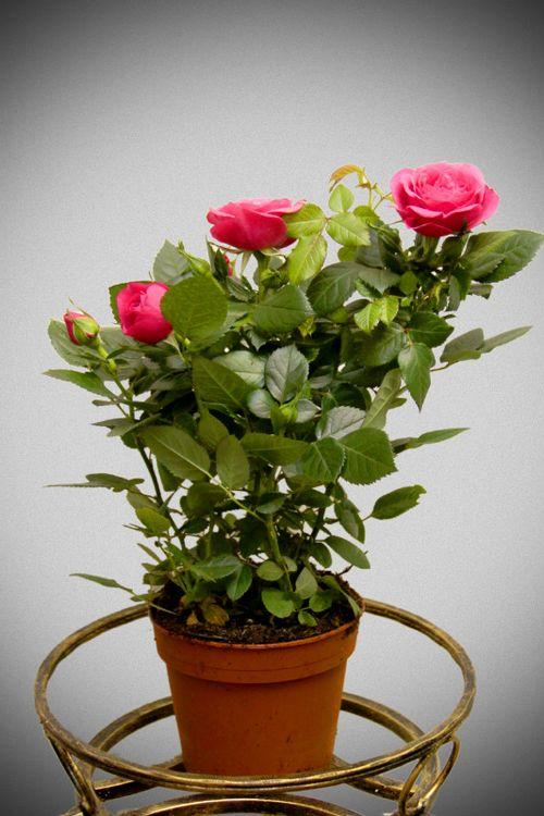 Основные правила ухода за комнатной розой