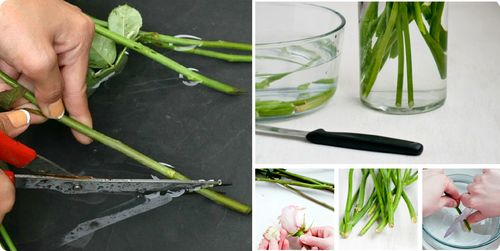 Подготовка стеблей роз