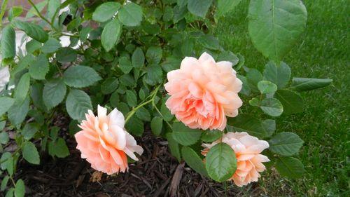 Советы по сохранению свежести розы в вазе