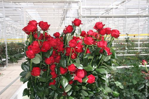 Как вырастить розу из черенка из букета