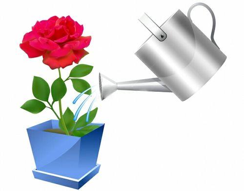 Основные правила ухода за розой в горшке