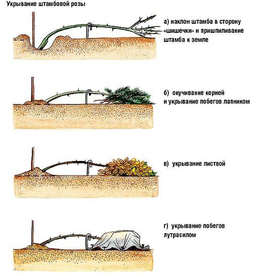 Инструкция по укрытию роз