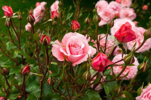При какой температуре правильно хранить розы