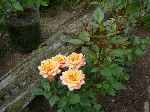 Правила ухода за розой Кордана микс