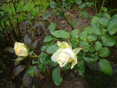 Кордана Микс в саду