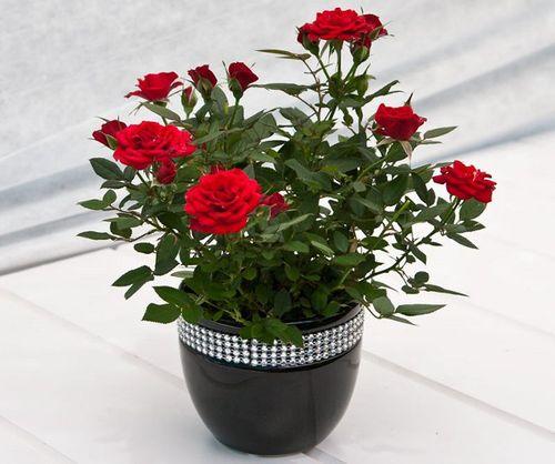 Мини розы на подоконнике