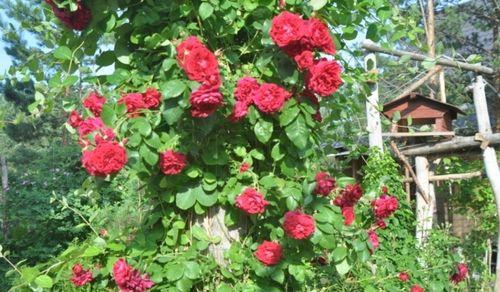 Розы канадки