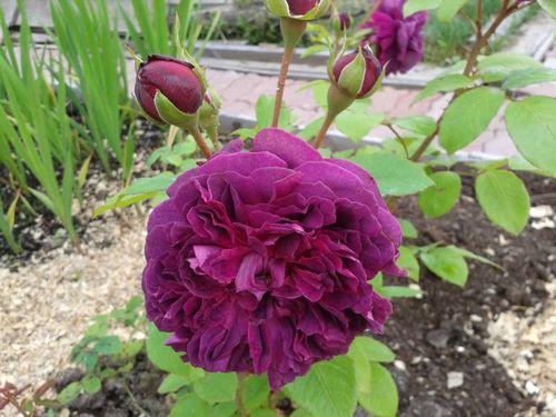 Какие виды роз можно не укрывать на зиму