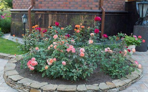 Обычные розы, чуткие к морозу