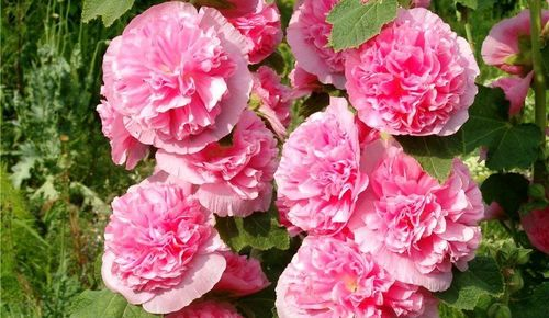 Как сажать розы весной из черенков и семян
