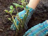 Высаживание ростков