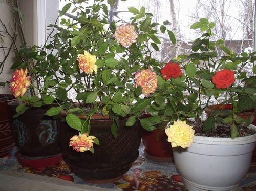 Какие сорта роз можно выращивать в горшках