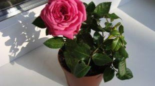 Красивая роза
