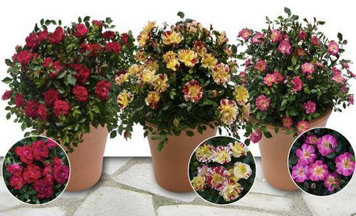 Варианты расцветок роз