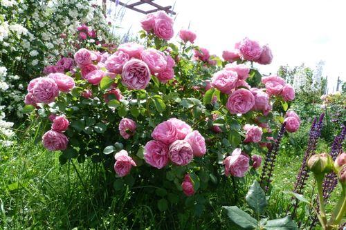 Розы со своей корневой системой