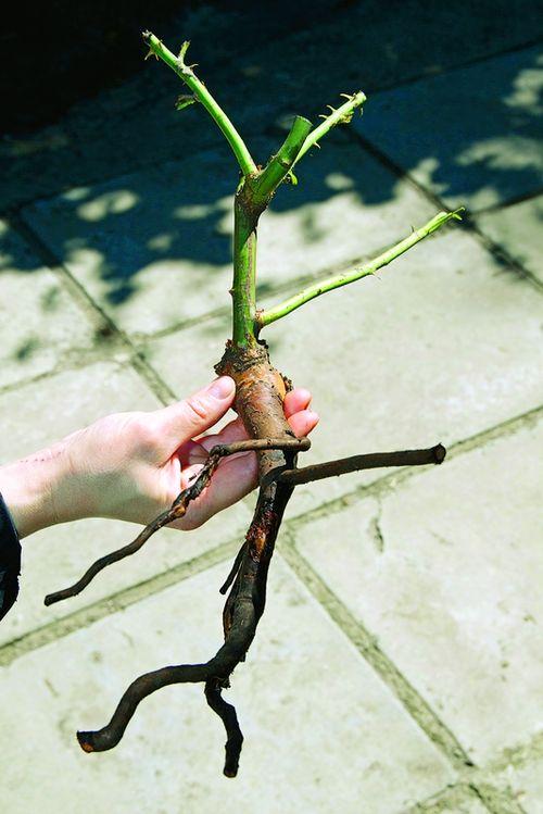 Как отличить привитые или корнесобственные розы