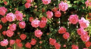 Розы самые лучшие сорта