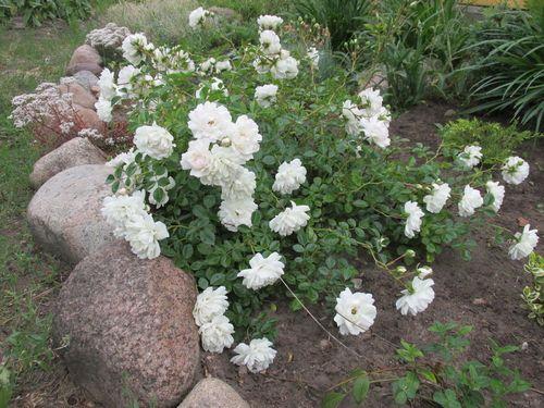 Какие сорта роз самые неприхотливые и зимостойкие