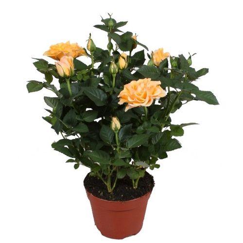 Актуальный способ вырастить розу из семян