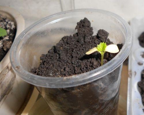 Проклюнувшиеся ростки