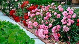 Цветущие розы осенью