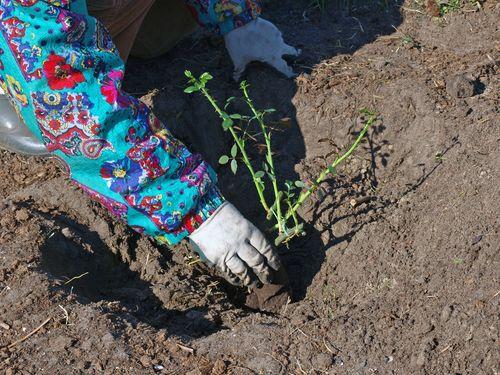 Как сохранить саженцы розы, купленные в феврале