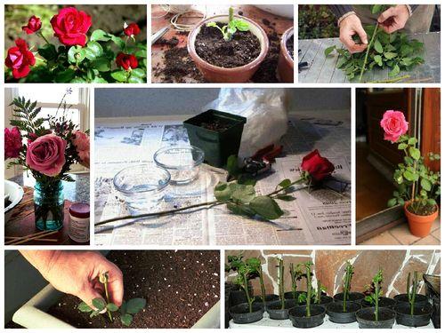Этапы выращивания розы с черенка