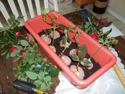 Размножение роз в картошке