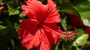 Цветок гибискуса красного цвета
