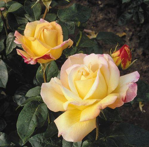 Чайно-гибридная роза 'Gloria Die'