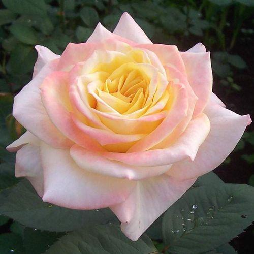 Роза сорта Глория Дей