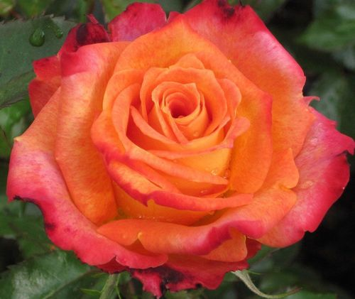 Особенности сорта роз Императрица Фарах
