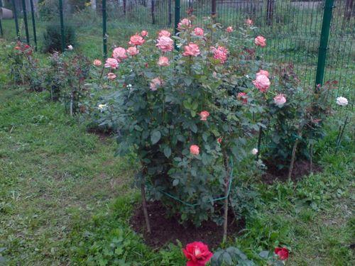 Цветущие розы на садовом участке