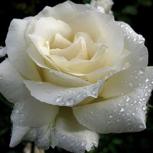Роза Генри Хадсон