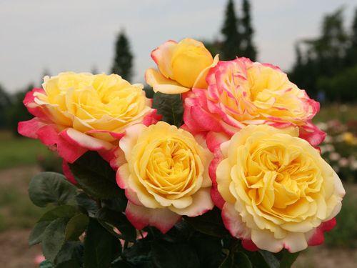 Обзор лучших сортов роз