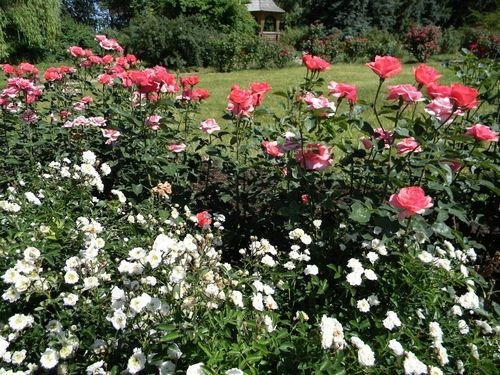 Тесное насаждение роз