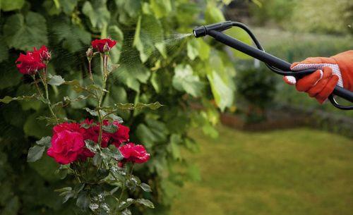 Меры борьбы с мучнистой росой на розах
