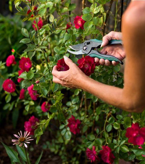 Главные причины, почему не цветут розы