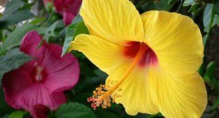Почему китайская роза не цветет в домашних условиях