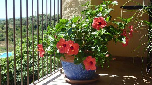 Цветущая китайская роза на балконе
