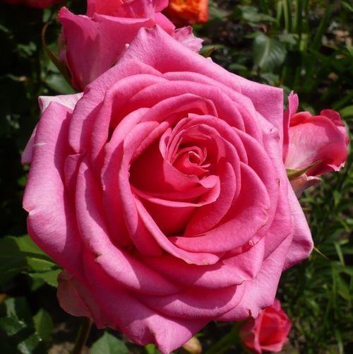 Роза сорта  Шок Версилия
