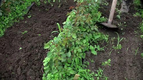 Удаление сорняков и рыхление земли