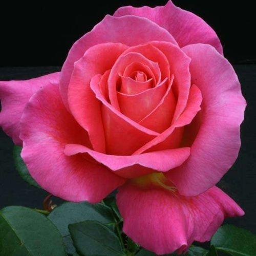 Выращивание и уход за розой Версилия