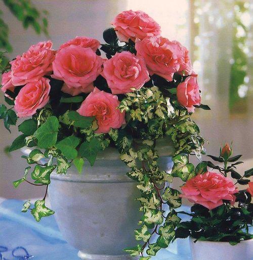 Советы как вырастить розы на балконе