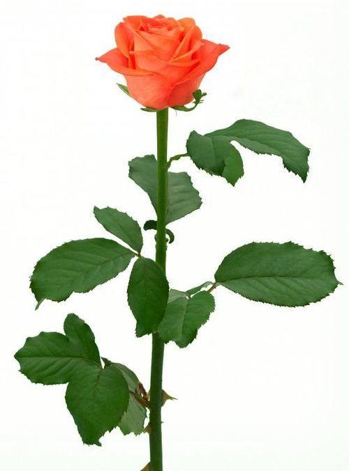 Описание и уход за розами сорта Вау