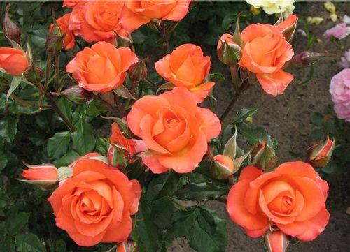 Розы сорта Вау на клумбе