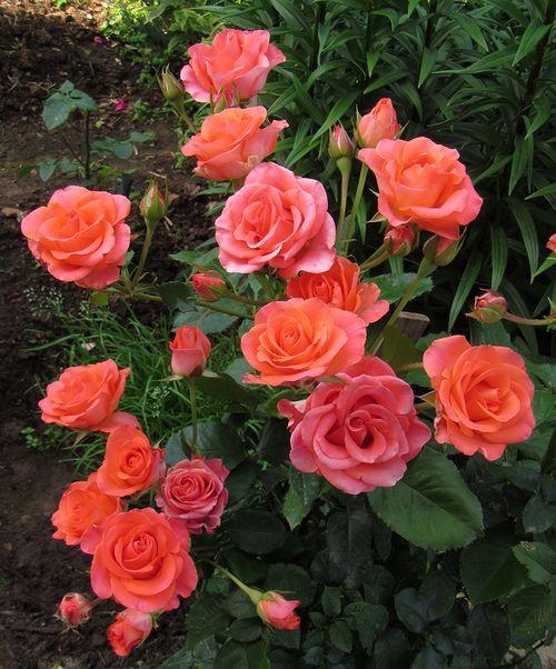Разные оттенки роз сорта Вау