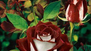 Розы сорта Осирия